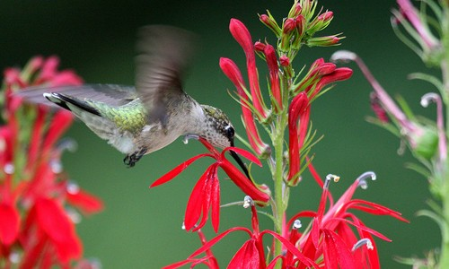 A Beautiful Hummingbird